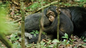 chimp1_hires
