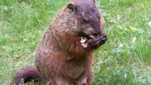 AFTER THE SHOW, NUGENT STRANGLED THIS GROUNDHOG WITH HIS BARE HANDS AND ATE IT RAW.