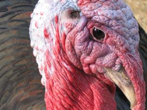 1-turkey head