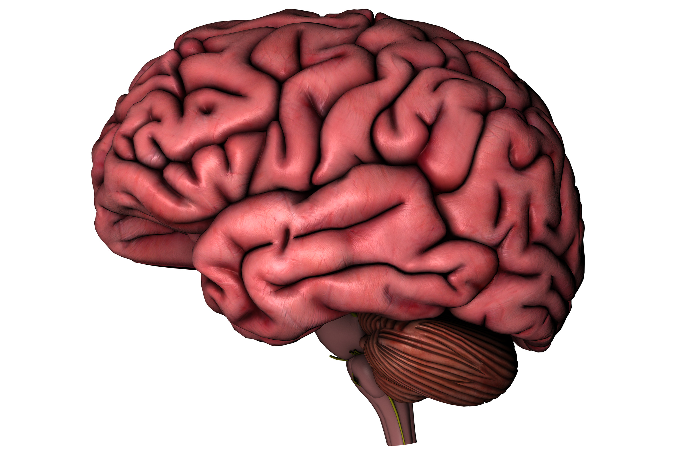 Human Brain On White Background Fort Worth Weekly