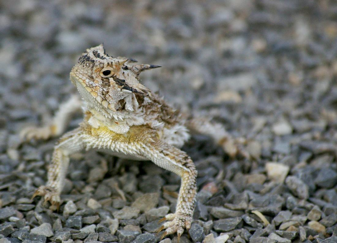 how the horned lizard got its horns? essay Westward expansion facts dates 1807-1910 where western territories of the  manifest destiny found its greatest  word got out—the first printed.