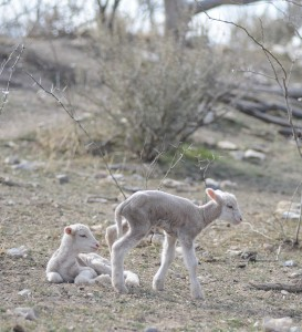 Cows and steers aren't the only critters suffering through the drought. These newborn lambs on the Smith Ranch may find little to graze on.