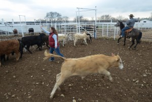 Cattle are loaded for sale at the Bonds Ranch.