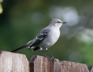 Northern mockingbird: We just don't think you're good enough.
