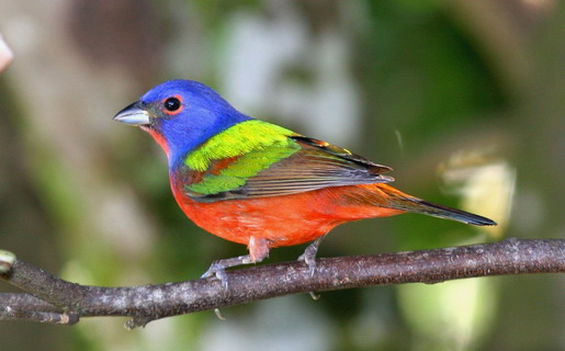 If We Want An Attractive Looking Bird Why Dont Choose The Painted Bunting I Cant Believe That No State Has Picked This Cardinal Especially When So
