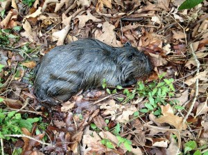 A nutria was among many wild animals covered in tar sands bitumen after an ExxonMobil spill in April. Courtesy Tar Sands Blockade
