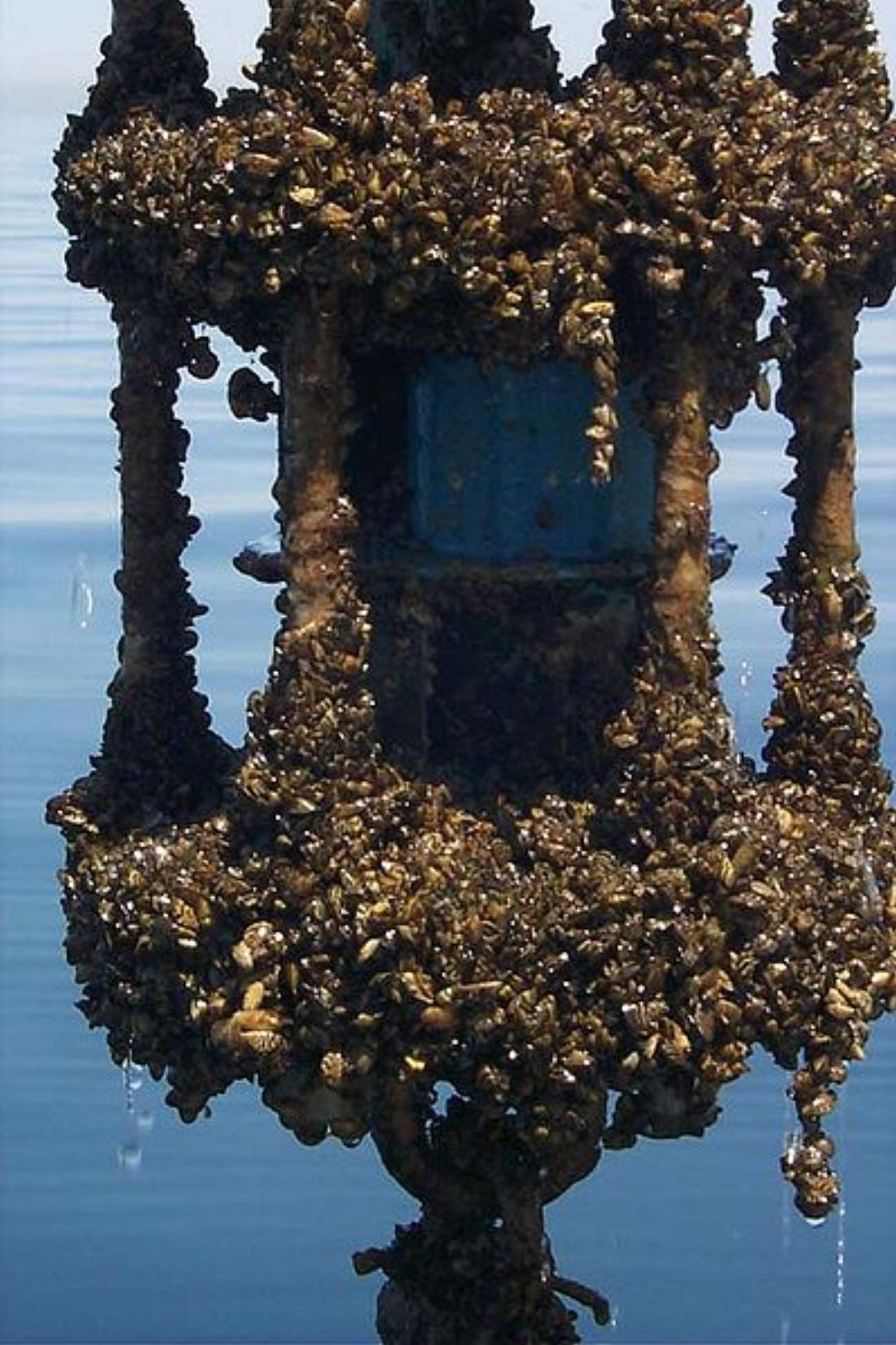 Zebra Mussels Suspected In Lake Worth And Joe Pool - Fort Worth Weekly