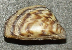 TYPICAL ZEBRA MUSSEL (photo courtesy of Wikipedia)