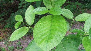KRATOM COMES FROM THE LEAVES OF THE MITRAGYNA SPECIOSA TREE FOUND IN SOUTHEAST ASIA (Wikipedia photo).