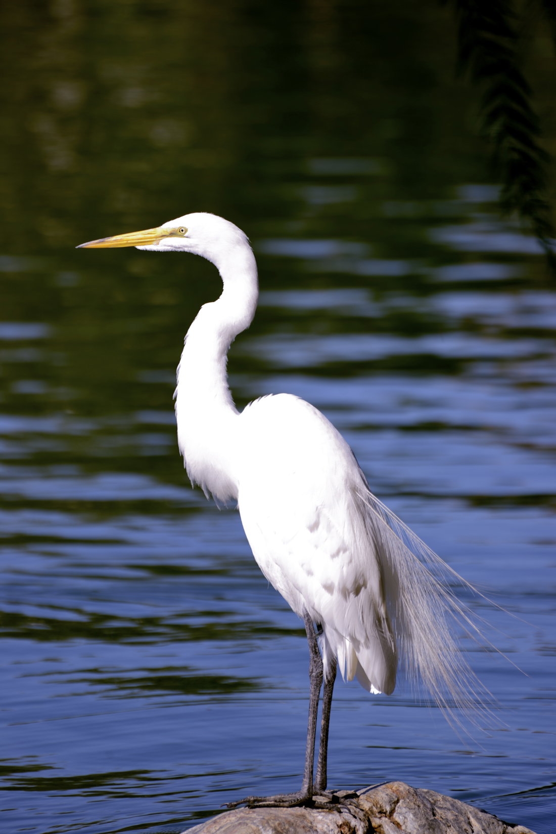 One cattle egret is a pretty bird, but hundreds can be a real nuisance.