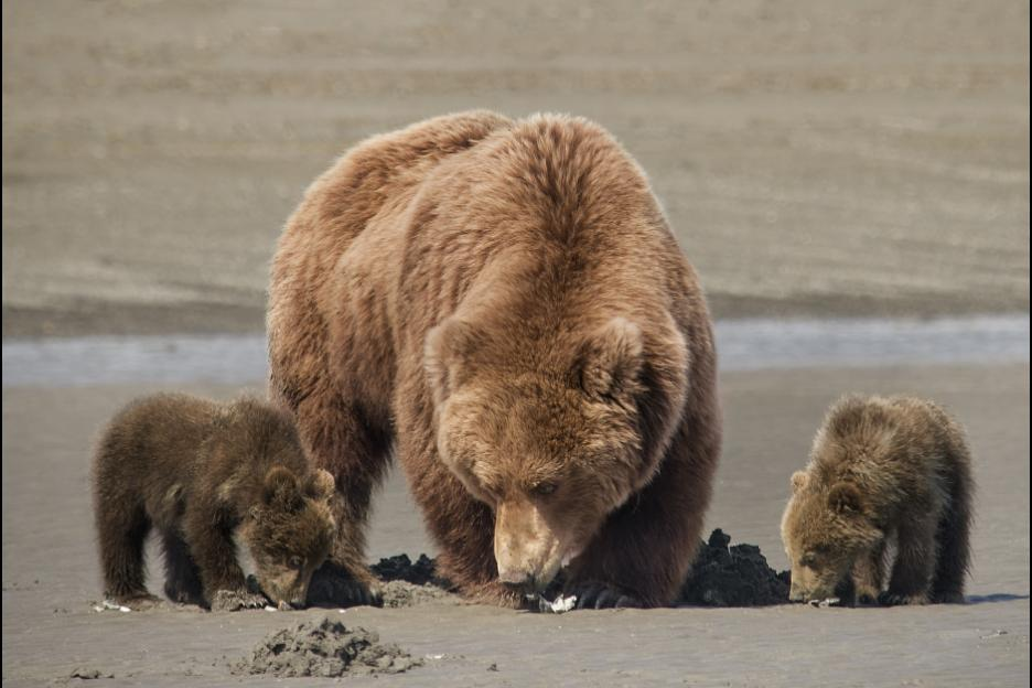 Sky (middle) and her cubs forage for clams on a beach in Bears.