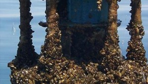 ZEBRA MUSSEL COLONY (photo courtesy Wikipedia)