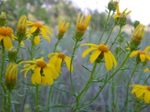 TANDY HILLS WILDFLOWERS (photo by Don Young)