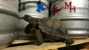 Turtle beer
