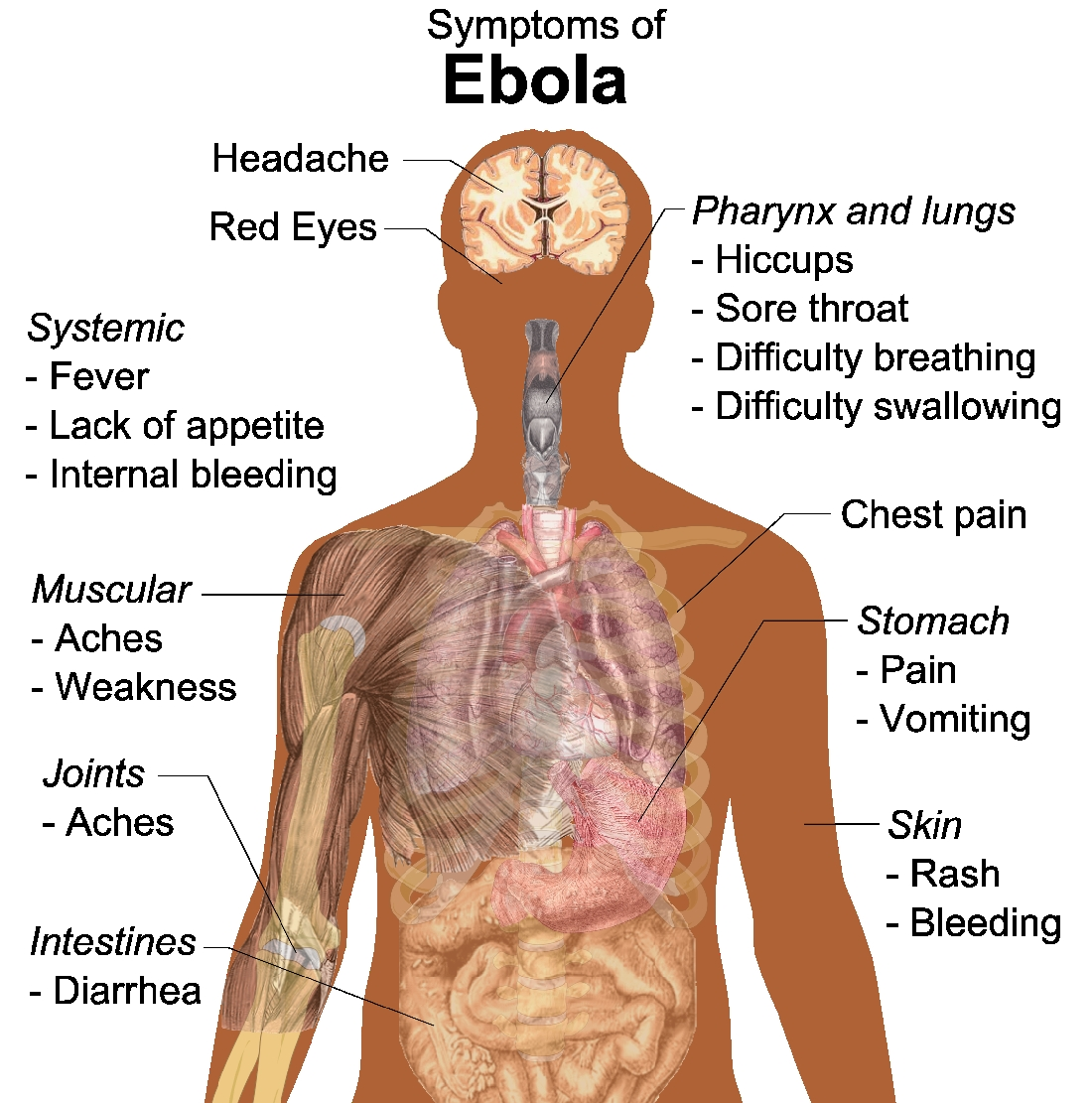 understanding how the ebola virus works in the body The ebola virus had understanding ebola requires an understanding of viruses and how they work online editorial production assistant at the pbs newshour.