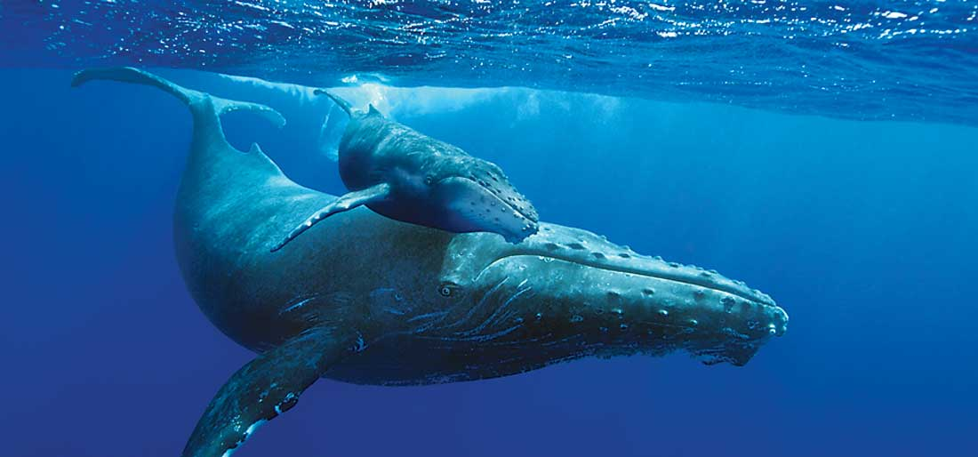 Fort Worth Museum of Science and History plays Humpback Whales in its IMAX theater.