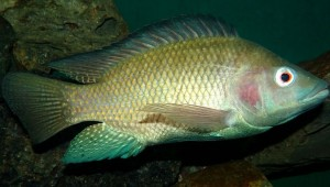 DON'T LET CLETUS ATKISS CATCH YOU EATING TILAPIA. (photo courtesy of Wikipedia)