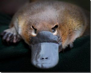 "THIS PLATYPUS SAYS, ""DON'T EVEN THINK ABOUT IT, GRADY SPEARS."""